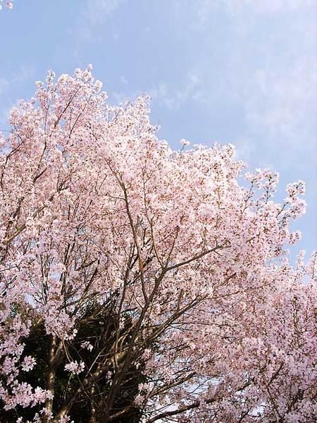 20060327-sakura